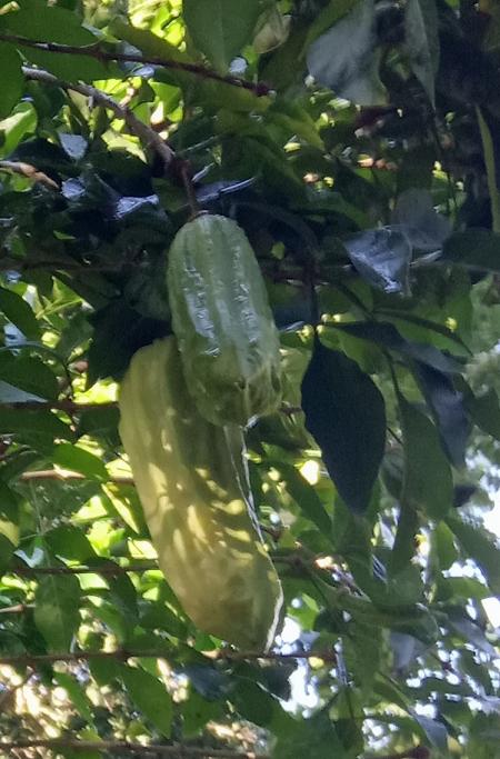 Parmentiera aculeata (Kunth) Seem.